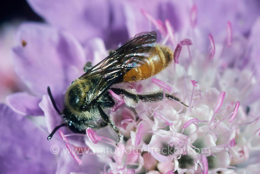 Skabiosen-Sandbiene, Andrena marginata, Small Scabious Mining-bee, Sandbienen, Erdbienen