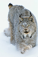 Canadian Lynx (Lynx canadensis)  walking through deep powder snow in late evening.