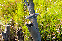 Striated Heron aka Mangrove Heron, Daintree River, Queensland, Australia