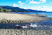 Annual Adams River Sockeye Salmon Run (Oncorhynchus nerka), Roderick Haig-Brown Provincial Park near Salmon Arm, BC, British Columbia, Canada - Fish returning to Spawn - note piles of dead fish rotting on far shore of Shuswap Lake