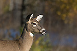 Close up of a white-tailed doe in autumn.