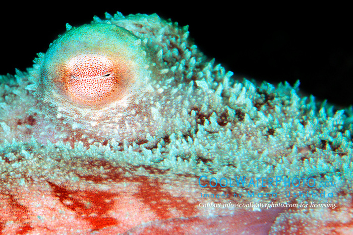 eye of Caribbean reef octopus, .Octopus briareus, .Cayman Brac (Atlantic)