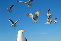 Pacific Gull and seagulls Eyre Peninsula South Australia