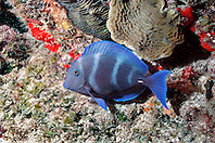 blue tang, night color phase, .Acanthurus coeruleus, .Chankanaab at night, .Cozumel, Mexico (Caribbean).