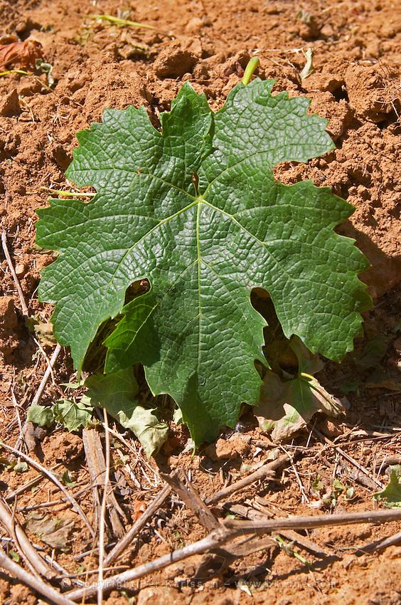 Vine leaf. Domaine Enclos de la Croix, Languedoc, France