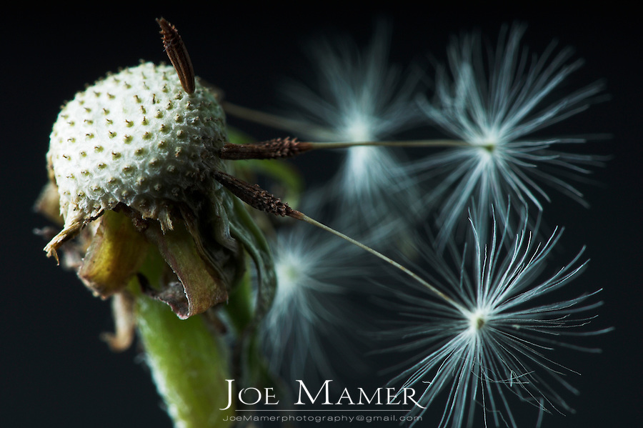 Close view of dandelion seed head with only a few seeds remaining.