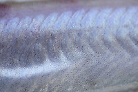 Close up of body scales of Blue whiting Micromesistius poutassou Norwegian sea North Atlantic.