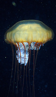 Lion's Main grow to 8' across.  They are the largest jelly fish in the world