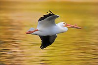 American White Pelican. Yellowstone National Park, Wyoming. U.S.A. Autumn. (Pelecanus erythrorhynchos).