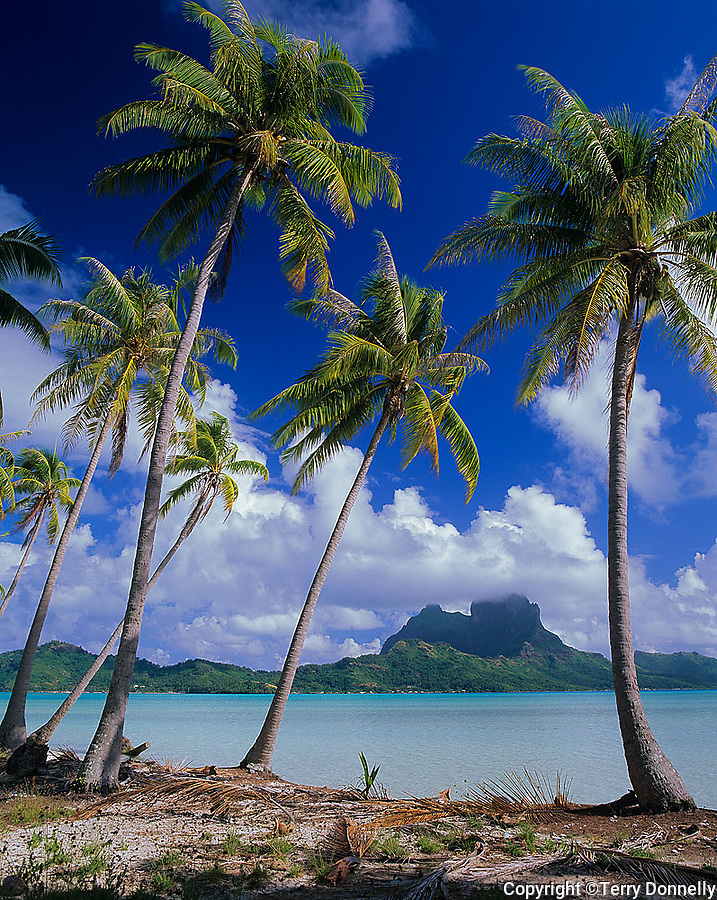 Bora Bora, French Polynesia   <br /> Coconut Palm trees (Cocos nucifera) on Motu Piti Aau frame the view of Bora Bora across the lagoon and Faaopore Bay