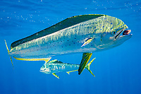 dorado, mahi mahi, or dolphin fish, Coryphaena hippurus, eating piece of bait, off Isla Mujeres, near Cancun, Yucatan Peninsula, Mexico (Caribbean Sea)
