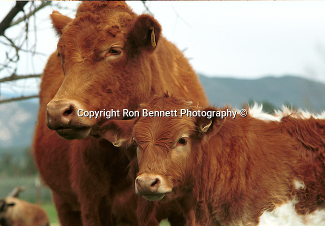 Cow and calf, cattle, cow, cows, domesticated ungulates, livestock, beef, veal, dairy products, milk, leather, chesse, disambiguation, bull,animal, wild animals, domestic animals,  Fine Art Photography, Ron Bennett Photography ©, Fine Art Photography by Ron Bennett, Fine Art, Fine Art photography, Art Photography, Copyright RonBennettPhotography.com ©