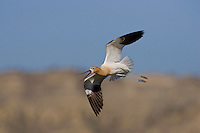 American Avocet (Recurvirostra americana), adult in flight calling, Colorado, USA