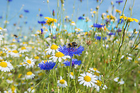Lose up of a cornflower and bee with ox-0eye daisies, Cambridgeshire.