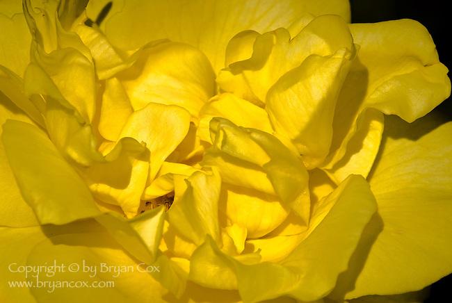 Yellow Rose, Portland Rose Garden, Oregon