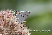 03191-00702 Gray Hairstreak (Strymon melinus) on Joe Pye Weed (Eutrochium purpureum) Marion Co. IL