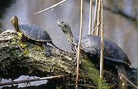 Europäische Sumpfschildkröte gemeinsam mit Balkan-Bachschildkröte, Kaspische Wasserschildkröte, beim Sonnenbad auf einem Ast, Emys orbicularis und Mauremys rivulata, Mauremys caspica,  European pond turtle, European pond terrapin and Caspian turtle