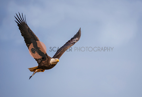 A.n Adult Bald Eagle in flight with wings aloft.  Eagle has a fish in it's talons
