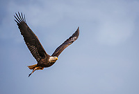 Adult Bald Eagle  in flight with fish in talons against blue sky with wings aloft