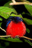 A Black-crowned Pitta (Erythropitta ussheri) sleeping on a branch within the rainforest.