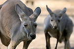 From Israel to Palestine: Kangaroos Cross the Border