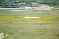 Coastal brown bear and gray wolf in grassy meadow, Katmai National Park, Alaska Peninsula, southwest Alaska.
