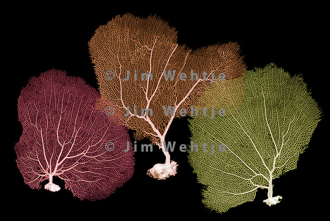 X-ray image of three sea fans (red orange yellow on black) by Jim Wehtje, specialist in x-ray art and design images.