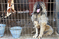 Stock photo : Big dog in cage sticking his tongue out in Cyprus.