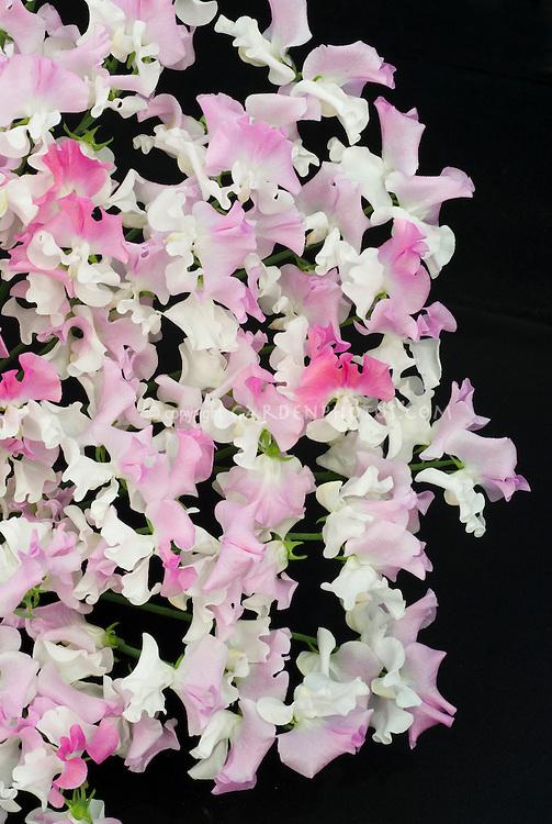 Lathyrus odoratus 'Promise' sweetpeas pink and white bicolour bicolor flowers cut flowers on black background