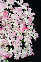 Lathyrus odoratus 'Promise' sweetpeas pink and white bicolour bicolor flowers cut flowers on black background