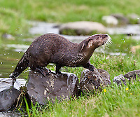 River Otter walking across a river on some rocks - CA