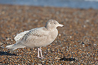 Glaucous Gull - Larus hyperboreus - 1st winter.  L 62-68cm. Bulky, pale-looking gull. Similar size to Great Black-backed but closer to Herring in plumage terms. Note adult's white wing tips; bill is massive and legs are pinkish at all times. Sexes are similar. Adult in winter has pale grey back and upperwings with white wingtips and trailing margin. Plumage is otherwise mainly white with variable dark streaking on head and neck. Eye has pale iris and orbital ring is yellow. In breeding plumage (sometimes seen in late winter) similar but without dark streaks. Juvenile and 1st winter are mainly pale buffish grey but very pale primaries. Pink bill is dark-tipped. Adult plumage acquired over 3 years. 2nd winter is very pale with faint streaks marbling. 3rd winter is overall paler still. Voice Utters a kyaoo and an anxious ga-ka-ka. Status Scarce non-breeding visitor, commonest on N coasts in late winter.