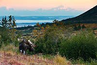 Fall landscape of Bull moose in powerline valley of Glen Alps area in Chugach Mountains near Anchorage, Alaska with Denali (Mt. Mckinley) in background.  Chugach State Park.  <br /> <br /> Photo by Jeff Schultz/SchultzPhoto.com  (C) 2018  ALL RIGHTS RESERVED