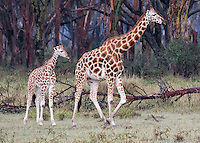 Mom and Baby Giraffe1  Keyna 2015