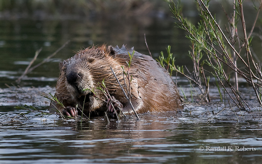 A beaver munches on willows near Oxbow Bend, Grand Tetons National Park, Wyoming