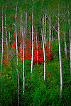The red leaves of mountain maples provide a stark contrast with the green leaves and white trunks of a grove of aspens on Guardsman's Pass in the Wasatch Mountains in Utah.