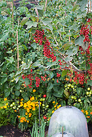 Red currants, Tomatoes, tagetes, bell jars cloche protection in vegetable & fruit garden