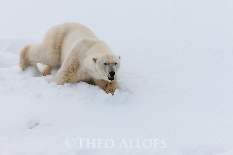 Norway, Svalbard, male polar bear walking in snow