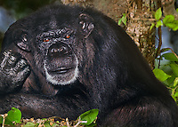 616509008 portrait of a wildlife rescue chimpanzee pan troglodytes- animal came from a medical research facility - species is endangered in its habitat distribution in central africa - ray