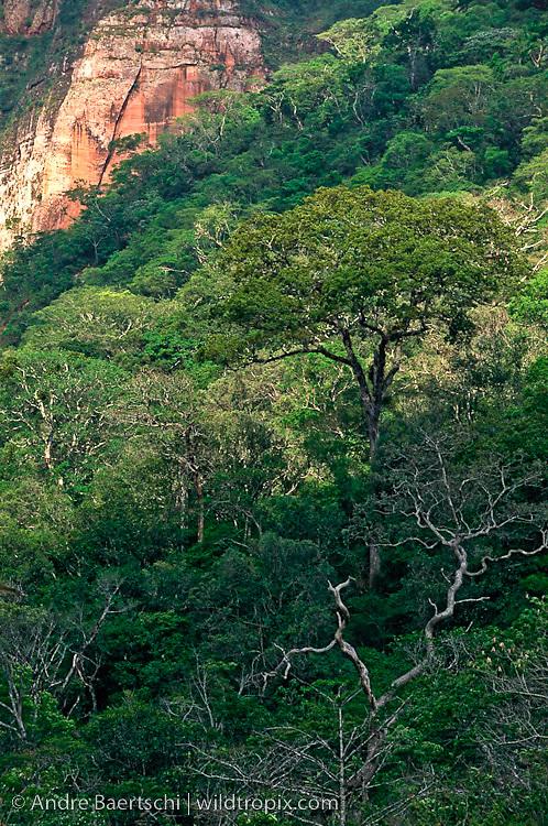 Emergent trees in tropical forest at Los Volcanes Ecolodge, Amboró National Park, Santa Cruz, Bolivia.