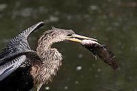 Anhinga eating catfish, Anhinga anhinga, Everglades National Park