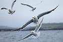 Great Black-Backed Gull {Larus marinus} and three Herring Gulls {Larus argentatus} following fishing boat. Isle of Mull, Scotland, UK. June.