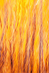Creative swirl abstract of yellow and orange Aspen trees