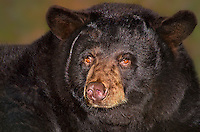 609650002 a captive american black bear cheyanne ursus americanus at the wildlife waystation wildlife recovery and care facility in southern california