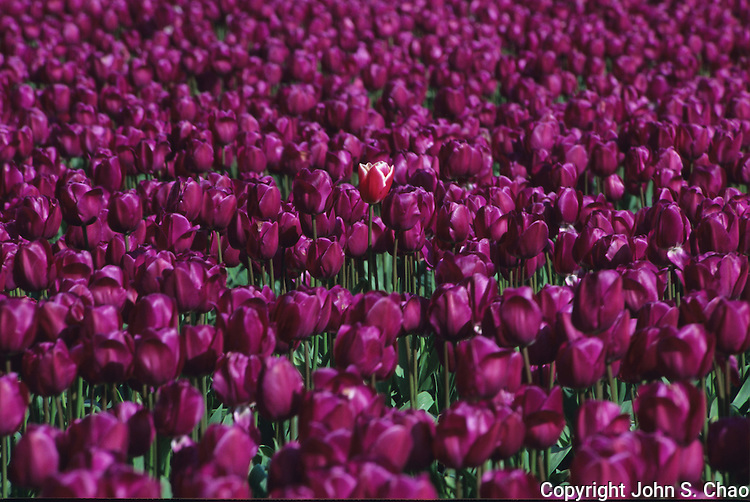 A single, white-edged red tulip stands by itself surrounded by a sea of purple tulips. Skagit Valley, Washington State. Photographed on Velvia 50 film in 35mm format.