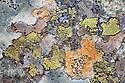 Community of various lichens growing on schist boulder including Map Lichen {Rhizocarpon geographicum}. Tirol, Austrian Alps, Austria. June.