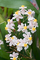 Oncidium orchid Twinkle in pale pink and white with yellow ridged lip