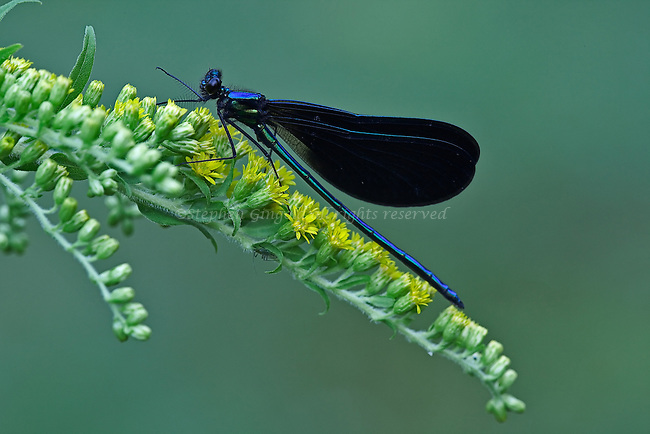 Ebony Jewelwings damselfly