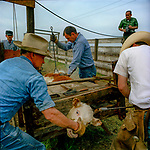 "Mape's Ranch 1968--Bill Lyons Sr brands cattle for his uncle Ed Mapes. Ranch motto ""Breed The Best and Forget The Rest"""