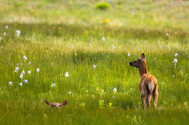 American elk calves (Cervus elaphus) among wildflowers in Arapaho Meadows/spring in Estes Park, Colorado/Rocky Mountains/June/wildlife/